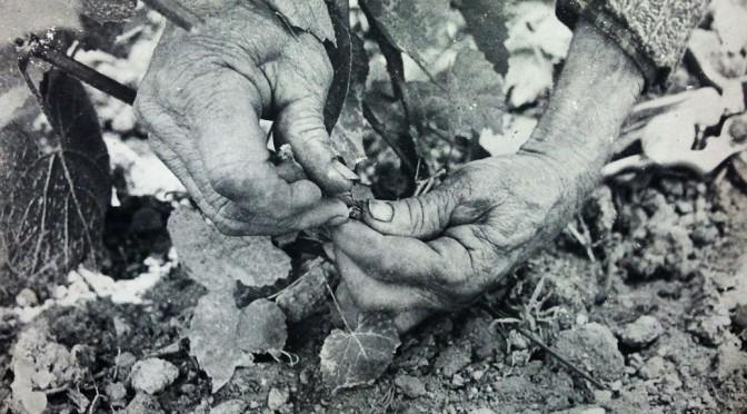 le mani del viticoltore